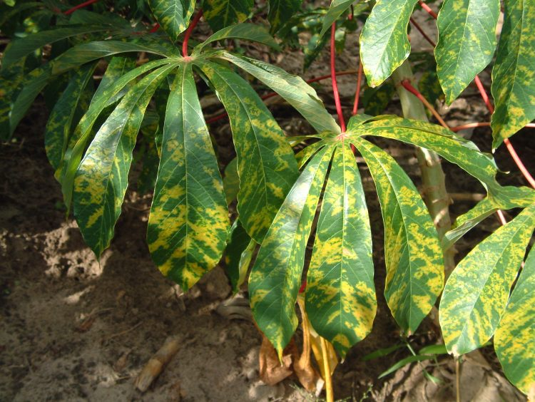 $18,000 Cassava Leaf Disease Classification Competition