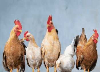 Rule the Roost Coop Design Challenge